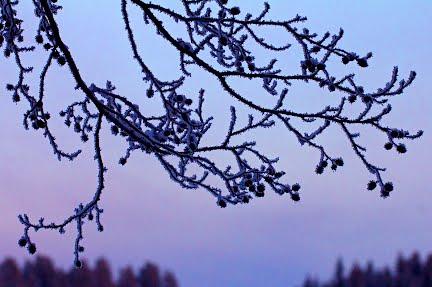 Talvi taustakuva: kuurapuu