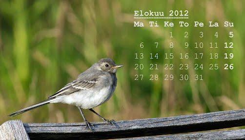 Elokuun 2012 kalenteri, nuori västäräkki