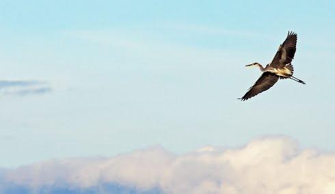 Taustakuvassa harmaahaikara
