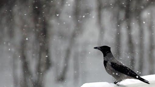 Varis lumipyryssä taustakuva