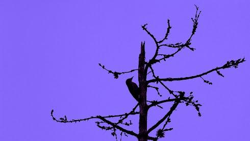 Taustakuva woodpecker