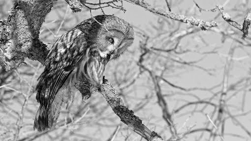 Hitchcockin linnut