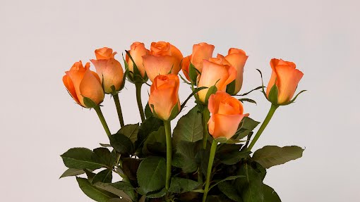 Ruusu taustakuvia